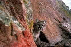 mountain lion peering around a rock