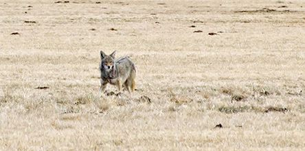 coyote walking in a field